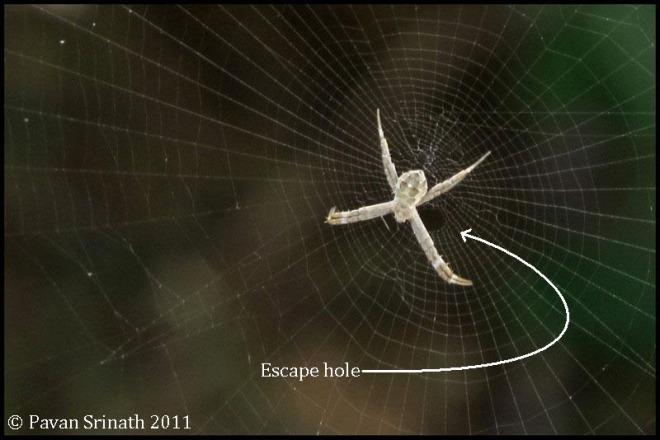 27328987-Albino_Argiope_Cross_Spider3