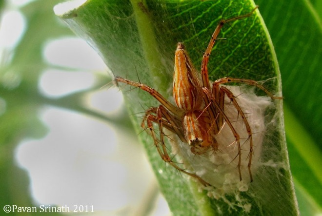 27370771-Oxyopes_lynx_spider