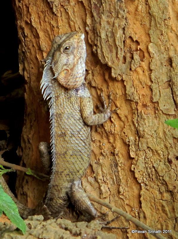 Oriental Garden Lizard / Changeable Lizard / Calotes versicolor