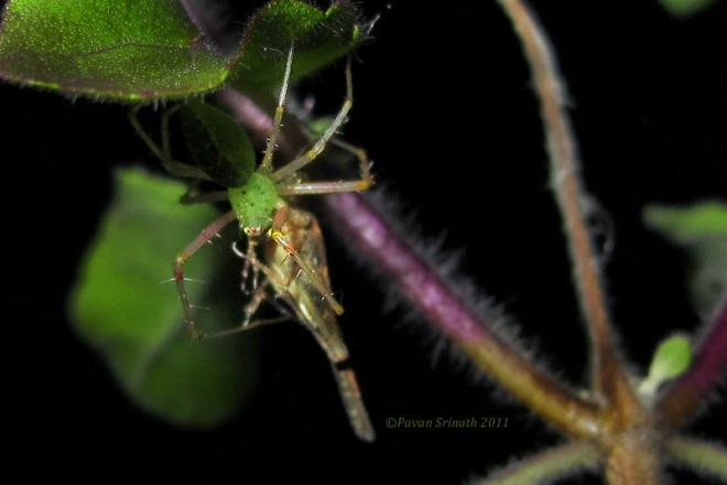 31406865-Green_Lynx_Spider_with_Prey