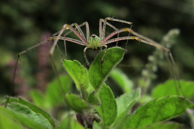 31407590-Green_Lynx_Spider_-_The_Queen_of_Thorns